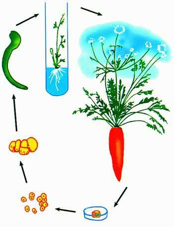 科学研究表明,处于离体状态的植物活细胞,在一定的营养物质,激素和